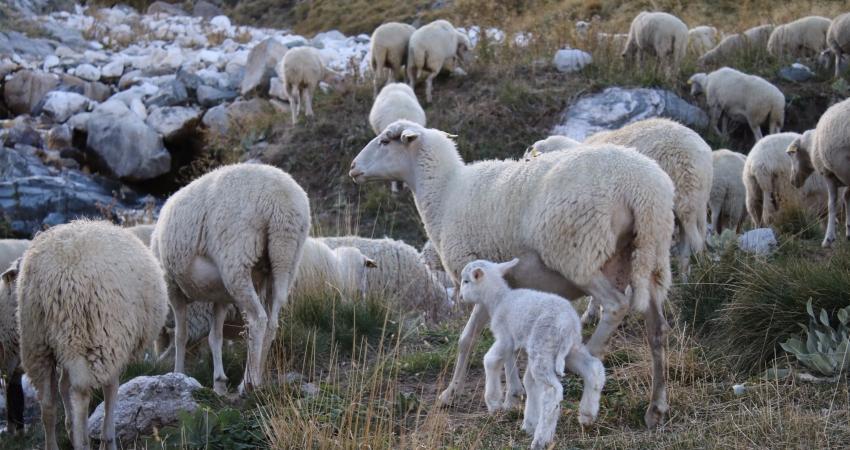 Uludağ'da koyunların zirve kampı