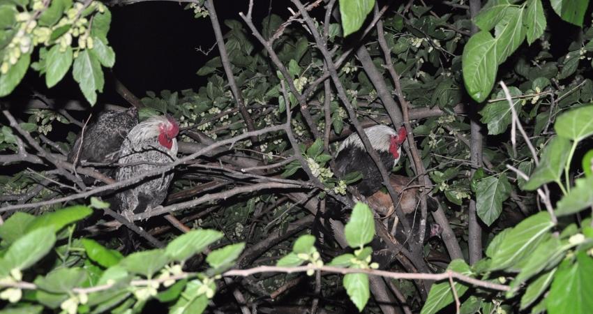 Yangını gören tavuklar ağaca kaçtı!