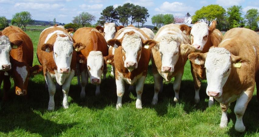 100 bin baş besilik sığır ihalesi iptal edildi