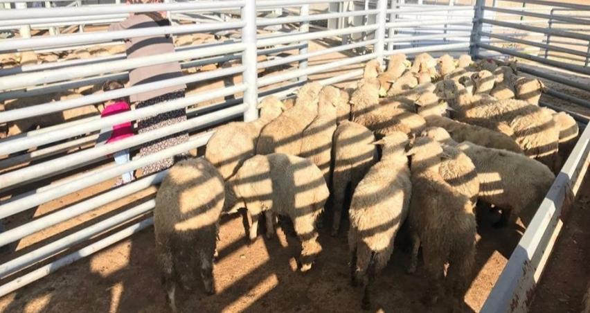 3 genç çiftçiye 35'er koyun 2'şer koç