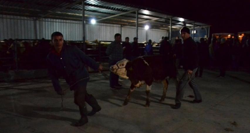 Genç çiftçilere 210 adet büyükbaş hayvan dağıtıldı
