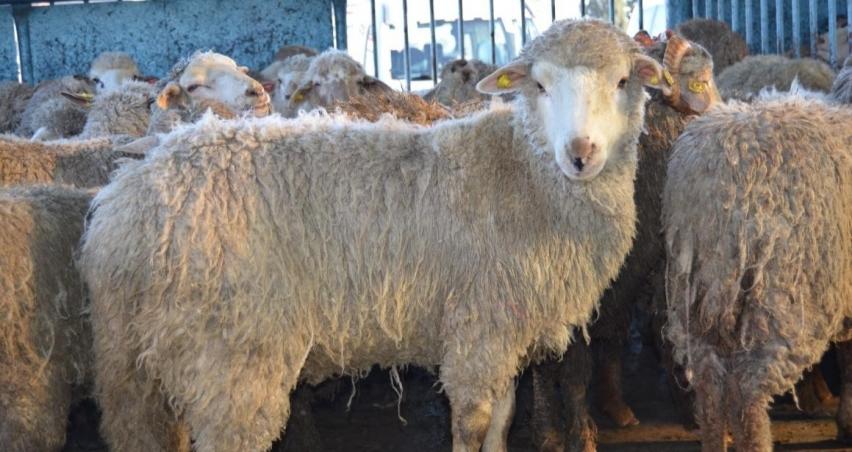 44 genç çiftçiye bin 628 koyun dağıtıldı