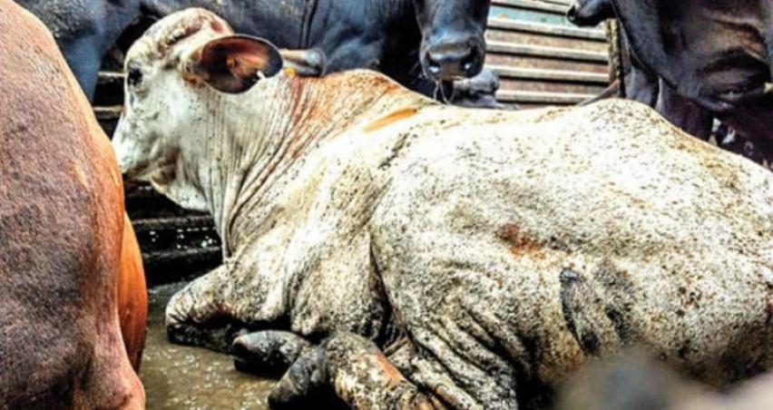 Ucuz et uğruna hayvanların çektiği çile!
