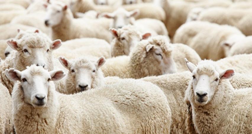 Türkiye'nin dağıtacak koyunu yok