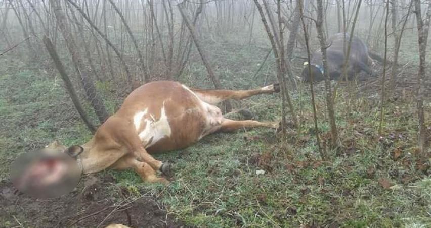 Akıma kapılan inekler telef oldu