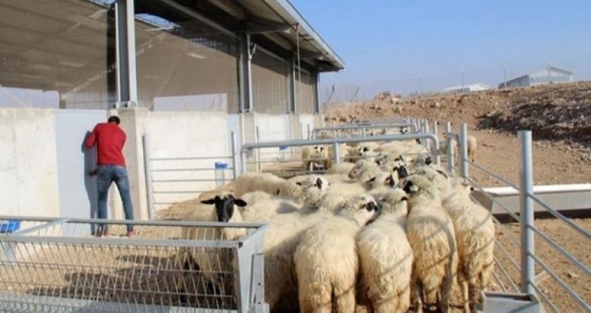 300 koyun projesi'nde başvurular yarın sona eriyor