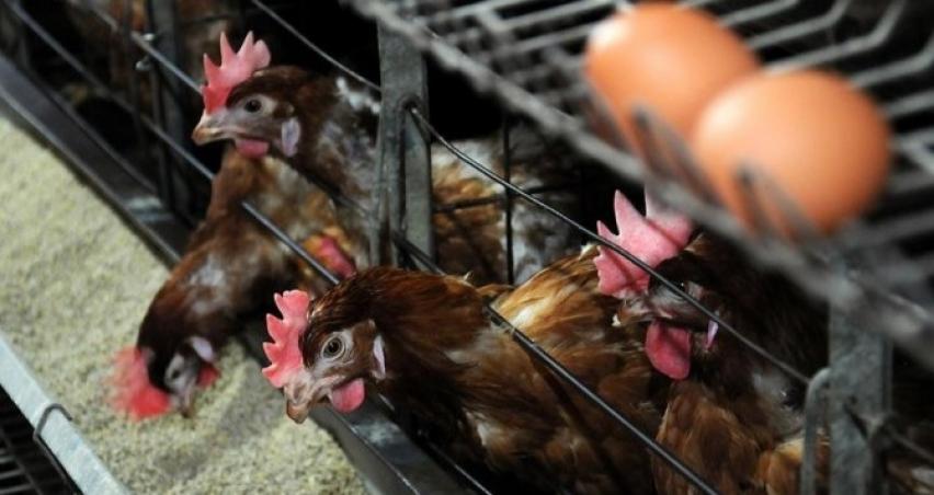 Süt, et ve yumurta üretim hibeleri için proje başvuruları başladı