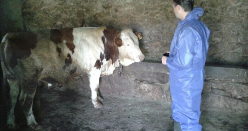 Bitlis'te şap aşılama çalışması devam ediyor