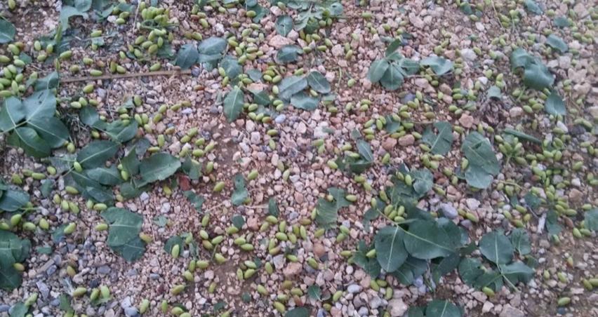 Dolu yağışı 15 bin dekar alanda ürünlere zarar verdi