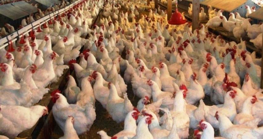 Kümes hayvancılığında üretim azaldı