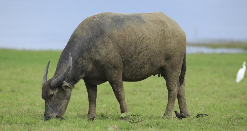 Et ve Süt Kurumu canlı hayvan ithalatından çekildi!
