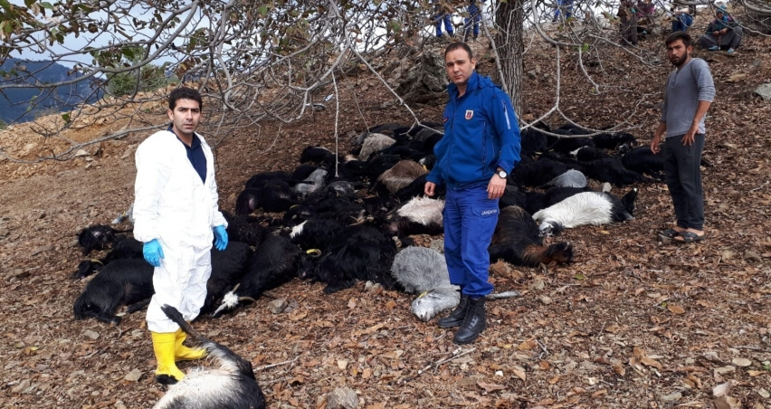 Üzerine yıldırım düşen 81 keçi telef oldu