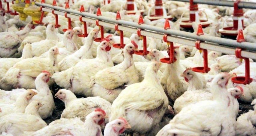 İran'da tavuk üretimi durma noktasında