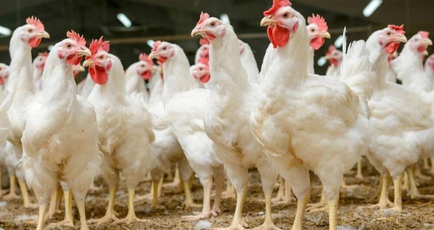 """İsveç'te """"yalancı veba"""" sebebiyle 5 bin tavuk itlaf edilecek"""