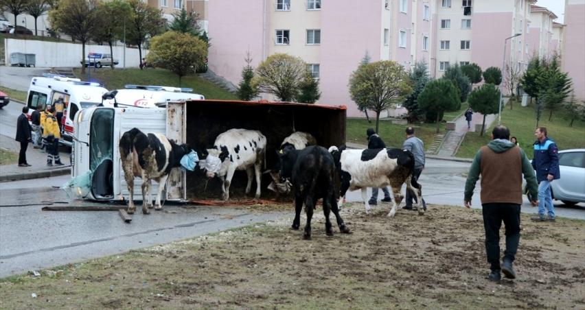 Devrilen kamyondaki hayvanlar yola savruldu