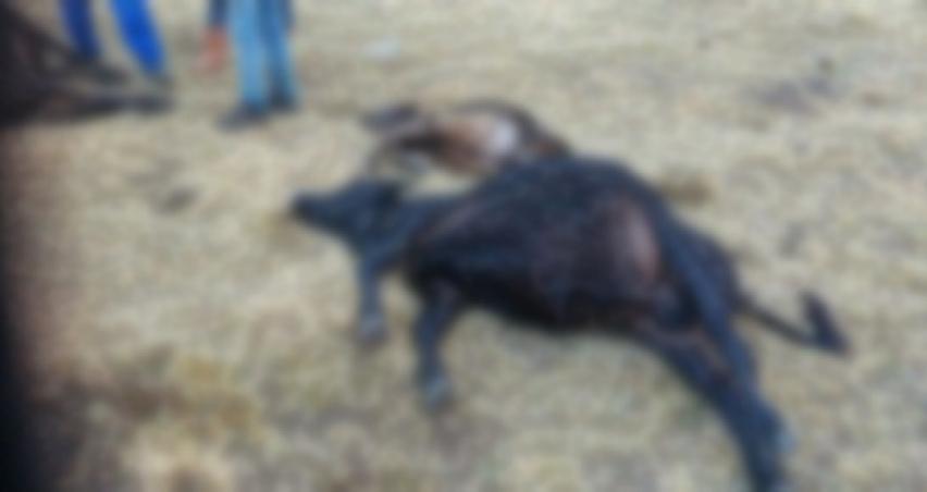 Bir günde 6 büyükbaş hayvan ölünce alarm verildi!