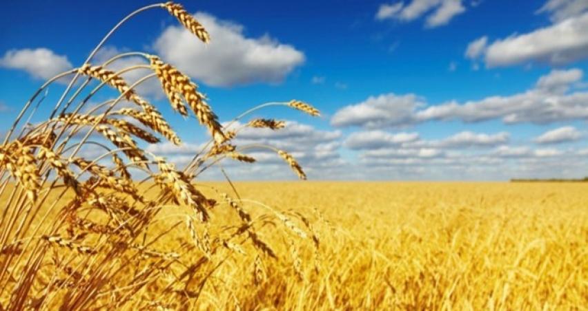 Buğday ekim alanı 7,5 milyon hektara düştü