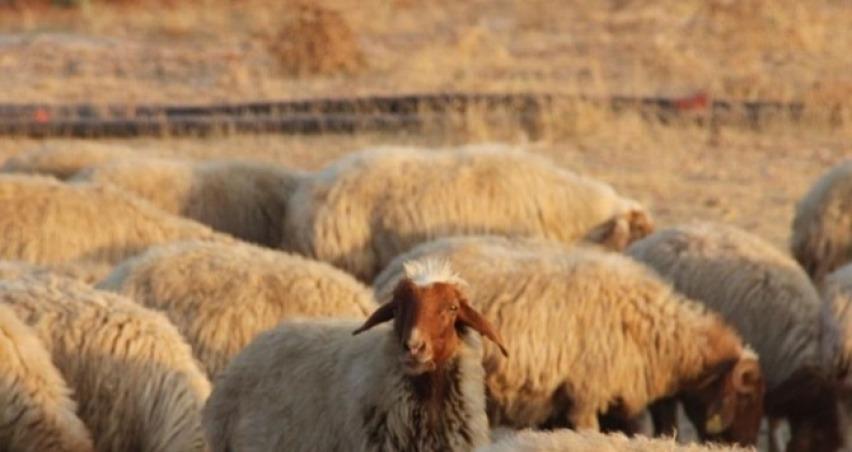 Romanya'dan günlük 50 bin koyun ithal edecekler!