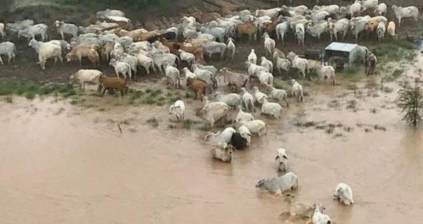 500 bin inek öldü! Hayatta kalanlara havadan saman atılıyor