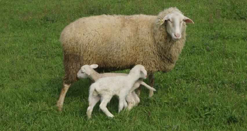 'Anaç koyun keçi destek ödemeleri başlıyor'