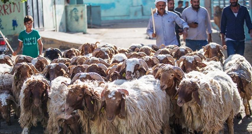 Ürdün ve Katar o kurbanlıklara talip!