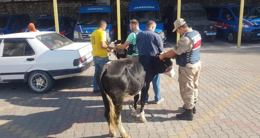 Çaldıkları sığırları otomobile yükleyen hırsızlar yakalandı!