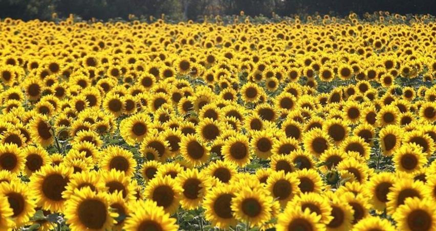 Trakya Birlik ayçiçeği ön alım fiyatını açıkladı!