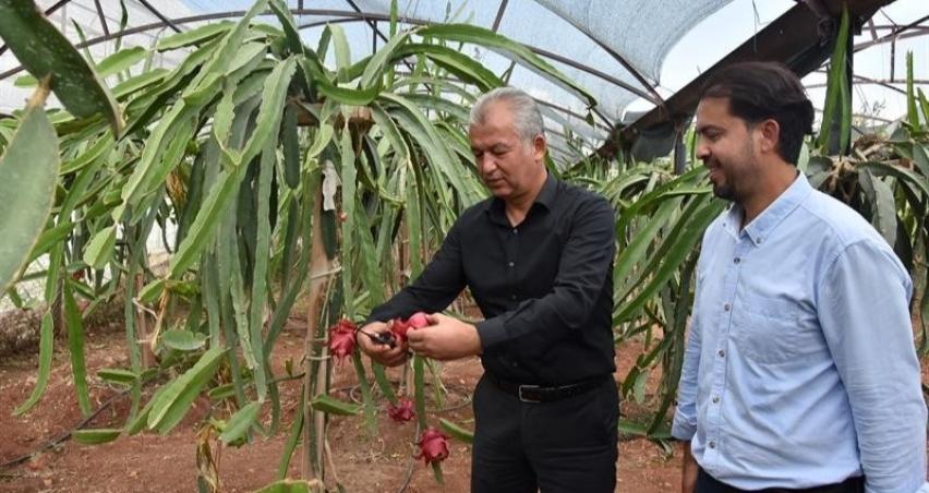 Pitaya üretimi yaygınlaşıyor