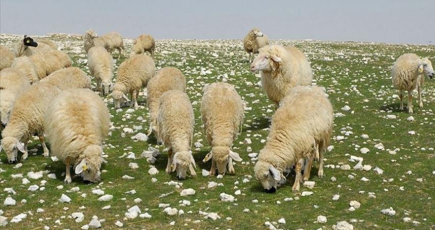 Anaç koyun keçi desteği için ikinci şans