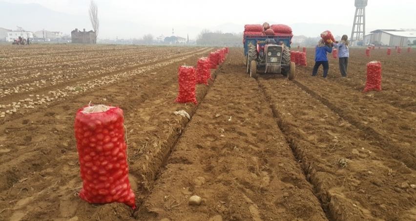 Patates ekimi yapacak üretici tohum bulmakta zorlanıyor