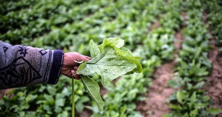 İsrail'in Gazze'ye sıktığı böcek ilaçları tarım arazilerini tehdit ediyor