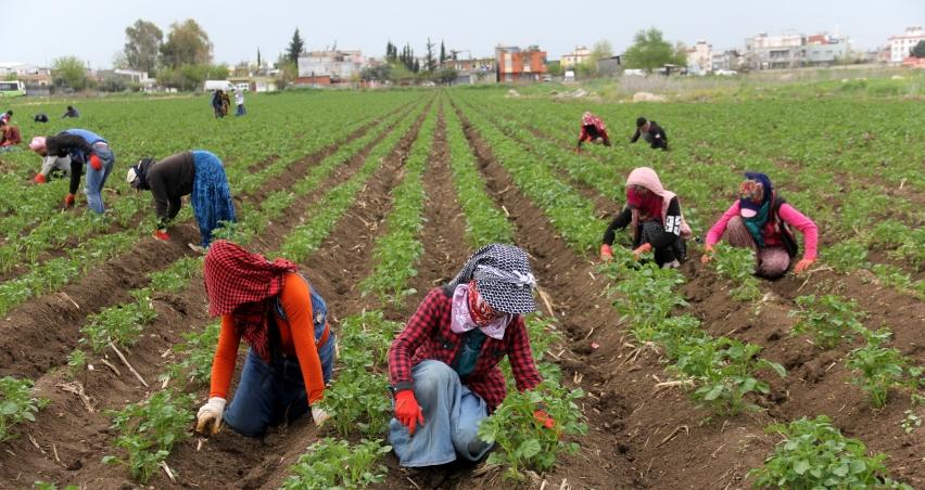 Çukurova'da çiftçi üretime aralıksız devam ediyor