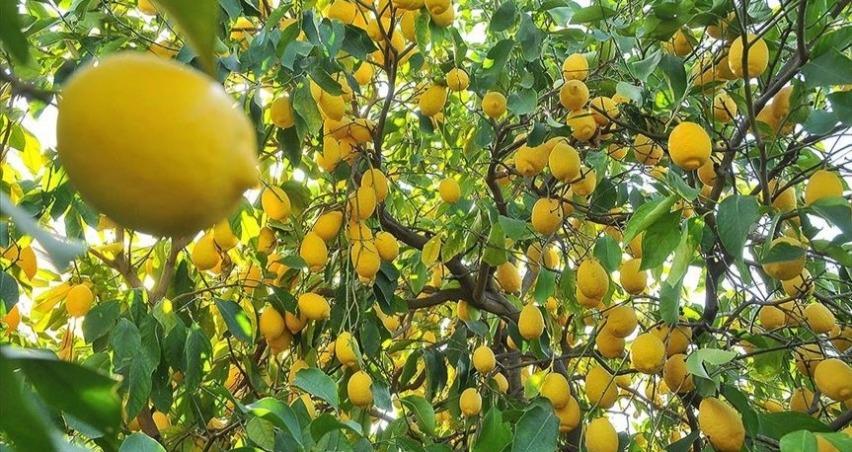 Limon ihracatı ön izne bağlandı