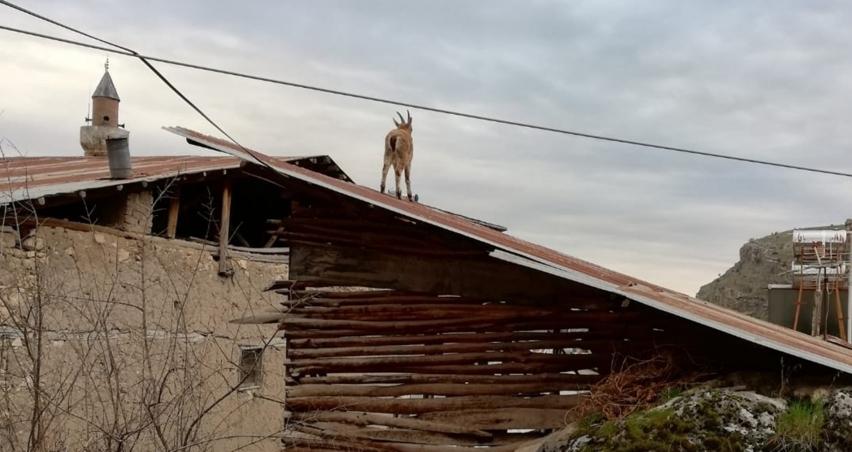 Vatandaşlar evde kaldı, yaban keçileri çatıya çıktı