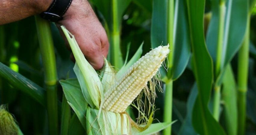 Yeni geliştirilen silajlık mısır çeşidi ekonomiye 100 milyon lira katkı sağlayacak