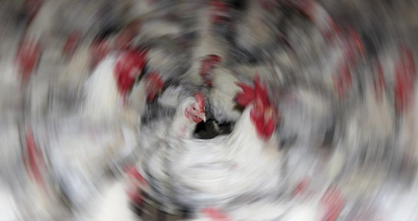 Irak'ta kuş gribi nedeniyle 95 bin tavuk itlaf edildi