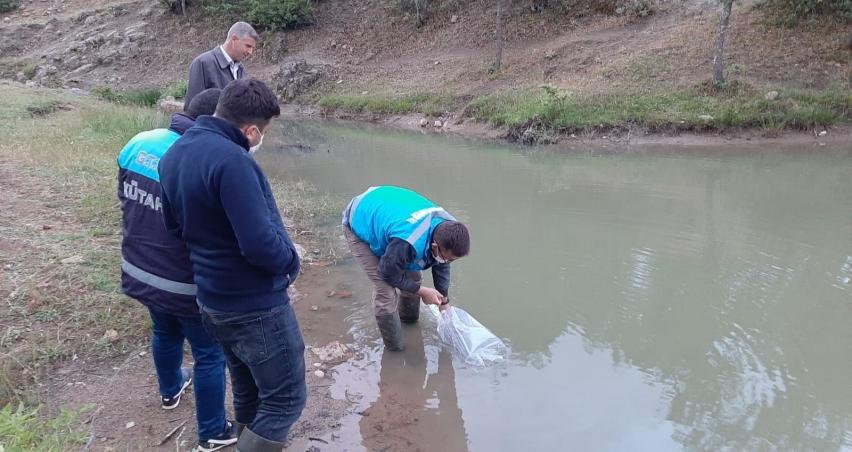 Simav'daki göletlere pullu sazan balığı yavrusu bırakıldı