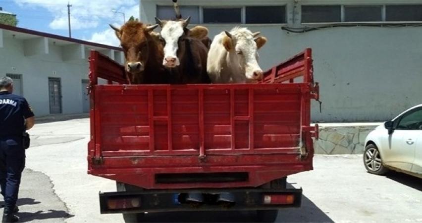 Bayburt'ta hayvan hırsızlığı