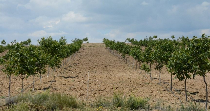 Bozkırda kurulan ceviz bahçeleri meyve vermeye başladı