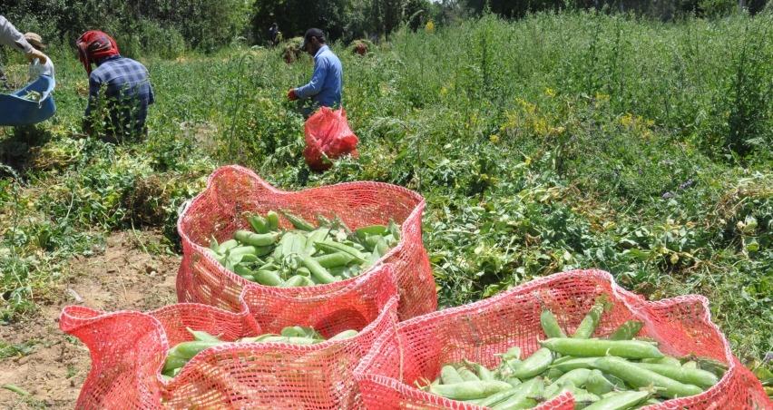 Bezelye ihtiyacının yüzde 35'ini karşılayan Sinanpaşa'da hasat başladı