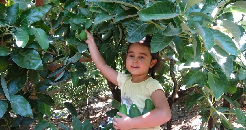 45 bin dekarda hasadına başlanan avokadoda hedef 70 milyon adet