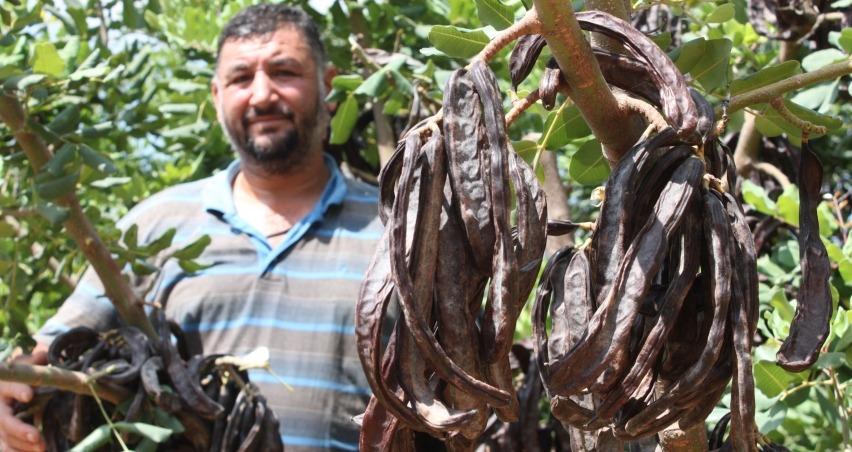 Üretici, hırsız korkusundan keçiboynuzunu 1 ay erken hasat etti