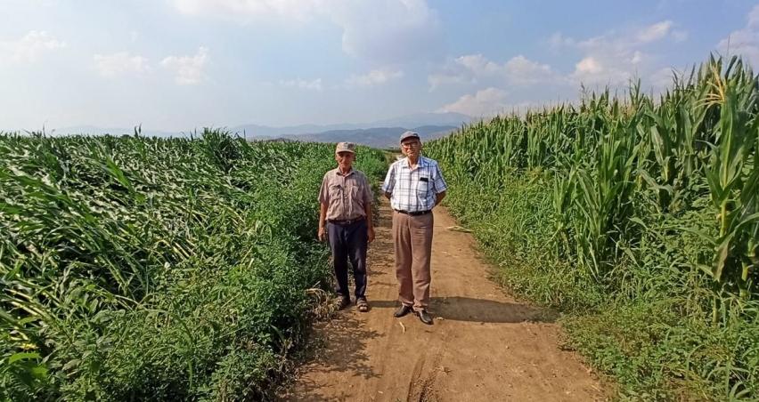 Ödemiş'te ikinci ürün mısır toprakla buluşuyor