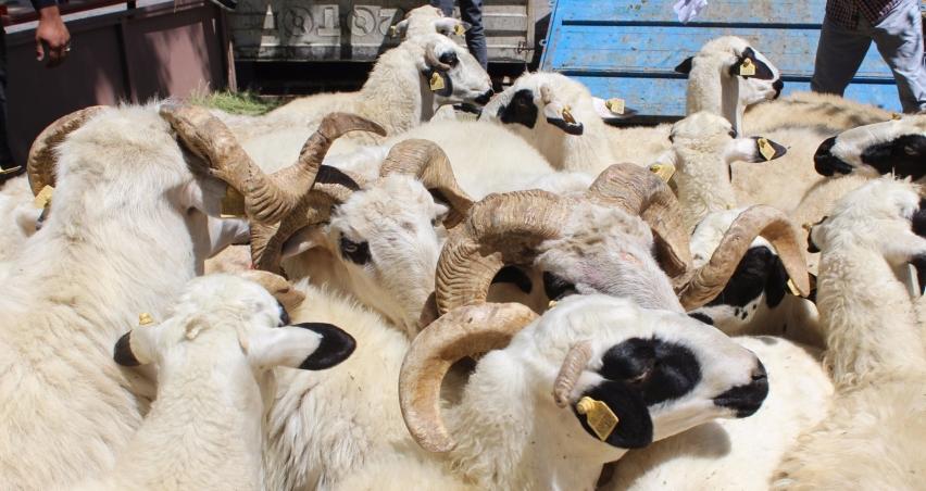 3 çiftçiye 63 koyun dağıtıldı