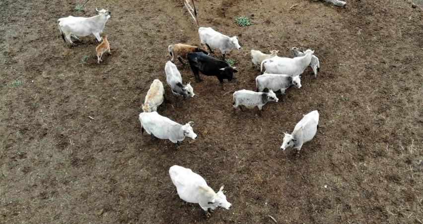 Klon sığır ailesi sürü oldu