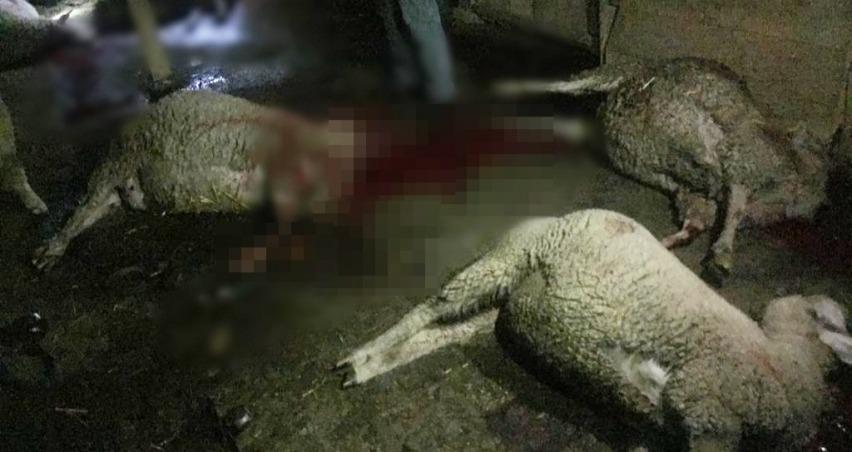 Meraya atılan gübre 8 koyunu telef etti