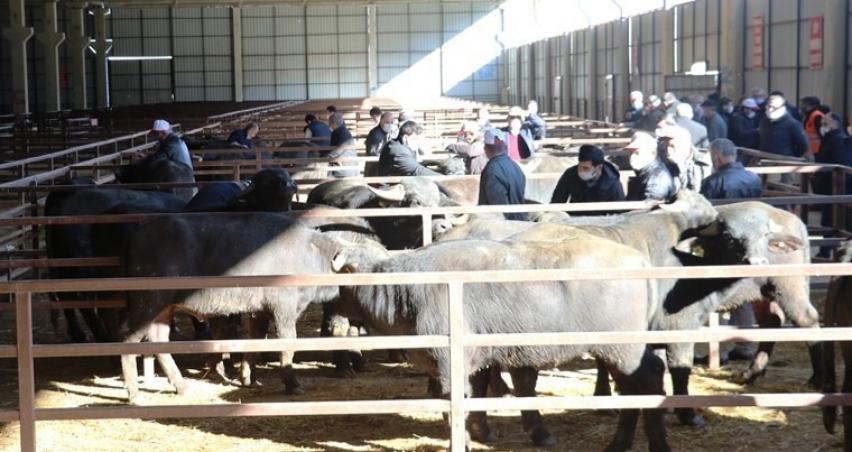 Samsun'da çiftçilere damızlık boğa dağıtımı yapıldı
