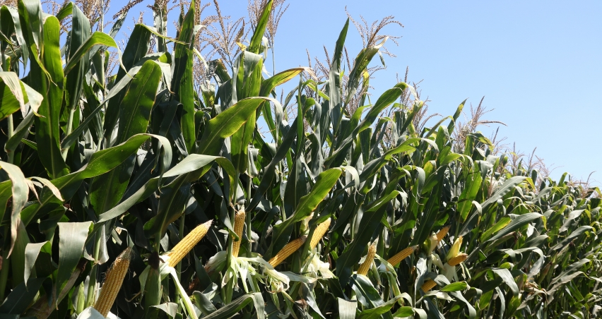 Besleyicilik değeri yüksek silajlık mısır çeşitleri kazandırıyor