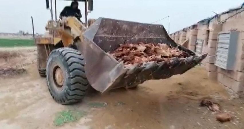 Irak'ta kuş gribi: 60 bin tavuk itlaf edildi