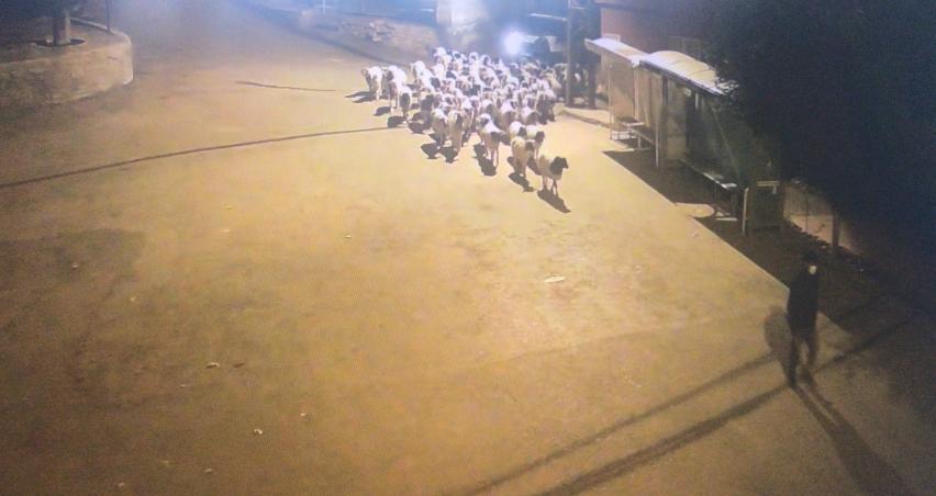 Mersin'de iki kişi koyunları peşine takıp götürdü